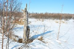 Old apple tree stump on winter landscape background. Blue sky royalty free stock image