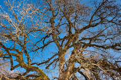 Old apple tree under blue sky. In spring time. Low angle view Stock Images