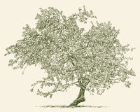 Old apple tree Stock Photos