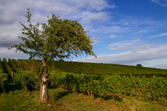 Old Apple Tree and Vineyards Royalty Free Stock Photos