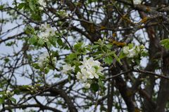 Old apple tree with white flowers. Garden in may stock images
