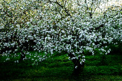 Old appletree with apple blossom of an old apple sort Stock Photography