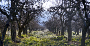 Old appple orchard on a cold april morning Royalty Free Stock Photo