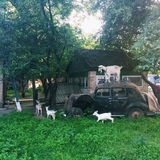 Old ar and goats. Village near Kiev, Ukraine Royalty Free Stock Images