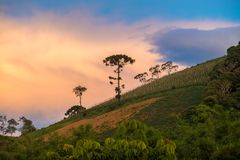 Old araucaria tree on the hill mountain. Old araucaria tree on the hill with nice vibrant background Stock Photography