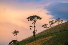 Old araucaria tree on the hill mountain. Old araucaria tree on the hill with nice vibrant background Stock Images