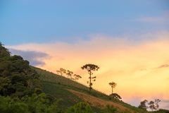 Old araucaria tree on the hill mountain. Old araucaria tree on the hill with nice vibrant background Royalty Free Stock Images