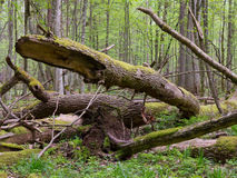 Old ash tree broken lying in springrtime forest Stock Photos