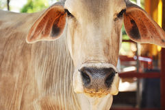Old Asian cow Stock Images