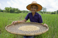 Old asian women sifts rice at the rice-field Royalty Free Stock Photo