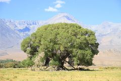USA, California/Sierra Nevada: Old Tree Royalty Free Stock Photo