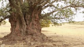Old aspen tree trunk, roots and branches. A big old poplar tree with an impressive trunk stock video footage