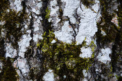 Old aspen trunk detail Royalty Free Stock Photography