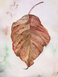 Old Autmn Leaf. Original Watercolour of a Dry Autumn Leaf Hand-painted  in Watercolour on watercolour paper background Royalty Free Stock Images