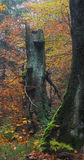 Old autumn beech tree. Old beech tree in colorful autumn forest Royalty Free Stock Photo