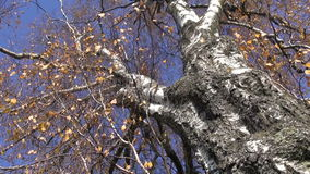 Old autumn birch tree and wind. Old and big autumn birch tree and wind stock video