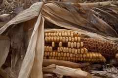 Old Autumn corn Stock Image