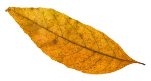 Old autumn fallen leaf of ash tree isolated. On white background stock photos