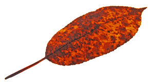 Old autumn leaf Royalty Free Stock Photos