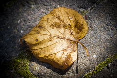 Old autumn leaf Royalty Free Stock Images