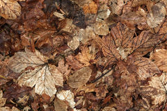 Old autumn leaves. The background texture. Royalty Free Stock Images