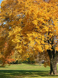 Old autumn tree 1. Old tree with very yellow fall leaves Royalty Free Stock Photo