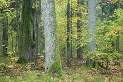 Old autumnal forest. With oak in foreground royalty free stock photos