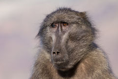 Old baboon. Old chacma baboon female with one blind eye Royalty Free Stock Image