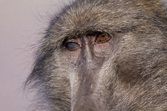 Old baboon. Closeup of chacma baboon female with a blind eye Stock Photography