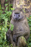 Old baboon sitting at a tree near lake nakuru Stock Photo