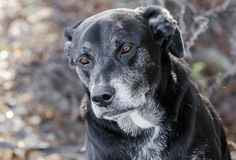 Old Back Labrador Retriever dog with gray muzzle. Senior male old Black Labrador Retriever dog with gray hair muzzle. Outdoor adoption photograph for Walton royalty free stock image