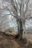 Old bald tree in forest. In winter Royalty Free Stock Photos