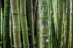 Old bamboo tree forest texture. Close up Stock Photos