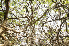Old banyan tree Royalty Free Stock Images