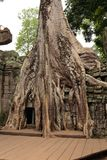 Old banyan tree at Ta Prohm Temple  Stock Photography