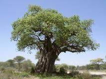 Old Baobab tree Stock Photo