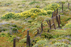 Old Barbed Wire Fence with Beautiful Yellow Wildflowers Along the California Coast Royalty Free Stock Image
