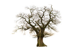 Old Bare Tree. Old tree in winter condition with no leaves isolated on white background Stock Photography