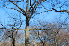Old bare trees in park. Scenic view of bare branches of old trees in park with blue sky background Stock Photo