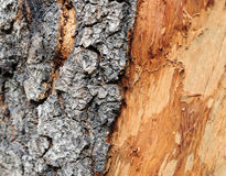 Old Bark. Tree bark texture by closrup Royalty Free Stock Photo