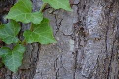 Old bark with ivy. Eregli longoz flora Stock Image