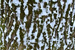 Old bark of tree with a snow closeup in winter forest stock photos