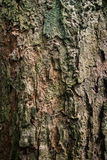 The old bark of tree texture background. The old wood in thailand forest Royalty Free Stock Photography