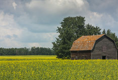 Old Barn in a Blooming Canola Field Royalty Free Stock Photo