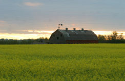 Old barn in canola field Royalty Free Stock Photos