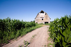 Old barn in the corn field. Old abandoned barn in the corn field with blue sky Stock Photo