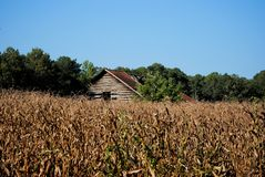 Old Barn in the Corn. An old, weathered barn in the middle of a corn field Stock Photo