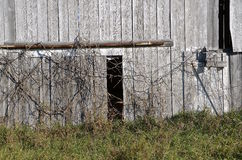Old barn door covered with vines Royalty Free Stock Image
