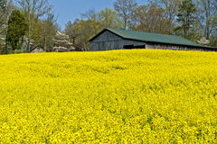Old Barn and Field of Yellow Wildflowers Royalty Free Stock Image