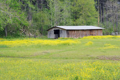 Old Barn in Meadow of Yellow Wildflowers. Field of yellow wildflowers surrounds old wooden barn sitting by a green woodland in springtime Stock Photos